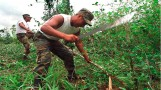 Perú dejó de ser el primer productor de hoja de coca en el mundo